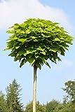 Dominik Blumen und Pflanzen, Hausbaum Trompetenbaum Catalpa Bignonioides Nana mit Pflanzstab und Sisalband, 15 L, grün