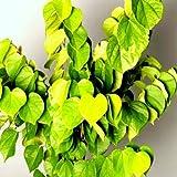 Chinesischer Judasbaum Avondale Größe wählbar [40-60 cm]