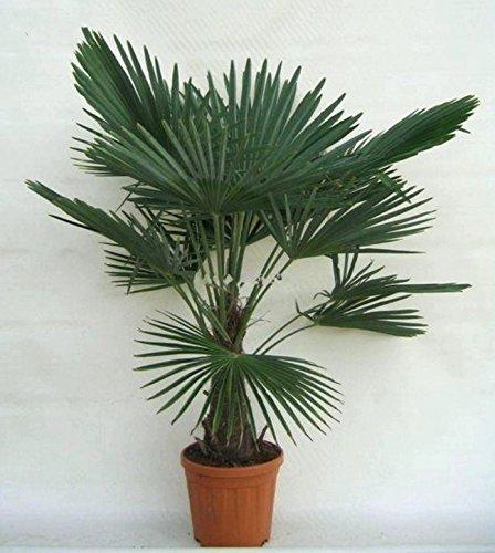 Trachycarpus Fortunei 140-160 cm Frostharte Hanfpalme
