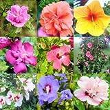 Hibiscus Syriacus 5 Samen Roseneibisch, Rose von Sharon, Syrische Eibisch