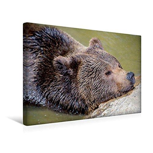 Calvendo Premium Textil-Leinwand 45 cm x 30 cm quer, Braunbär | Wandbild, Bild auf Keilrahmen, Fertigbild auf echter Leinwand, Leinwanddruck Tiere Tiere
