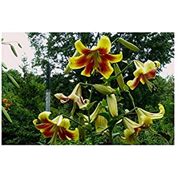 Tree Lily Bulbs Lilium /'Picasso/' Hardy Pure White and Blush Pink Blooms Tall Stems Exotic-Looking Flowers Perfect for an Attractive Fragrant Hedge Screen 3 x Tree Lily Bulbs by Thompson and Morgan