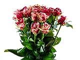 Blumenversand - Blumenstrauß - Rosen in rot-creme - 20 Stück rote-creme farbige Rosen pur! mit Gratis - Grußkarte zum Wunschtermin versenden