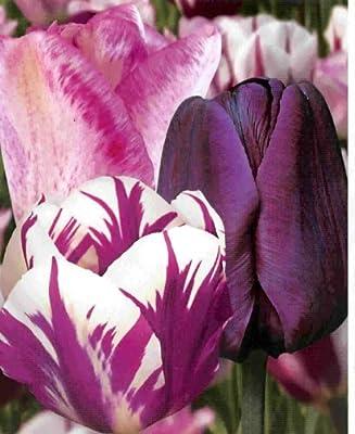 """Prächtige Tulpen - Mischung """" Violet- White """" 20 Zwiebeln von Mosselman - Du und dein Garten"""