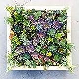 Keptei Samenhaus- 100 Korn Mini-Sukkulenten Saatgut Kräuter Zierpflanze Bonsai Topf Blumensamen mehrjährige,Sehr Lustig wie Stein