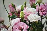 20+ rosa lisianthus e Fiore Bianco SEMI MIX/LUNGA DURATA ANNUALE