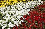 Salvia escarlata, petunia de flores grandes y caléndula - semillas de 3 especies de plantas con flores - 3 paquetes de semillas