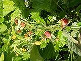 Erdbeere (Rügen) 40 Samen -Monatserdbeere mit gutem Ertrag-
