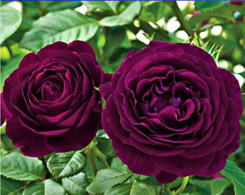 PLAT firm-SEMI Mr. Flower * Heirloom esotica fresca Semi Purple Rose cespuglio di fiori, Professional Service Pack, 50 Semi/Pack, Luce profumato giardino di fiori # NF760