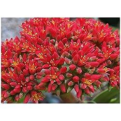 Crassula falcata - Propellerpflanze - 15 Samen