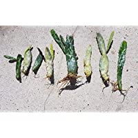 Portal Cool Cactus Opuntia monacantha 1 Arraigado Corte Fã¡Cil de Cultivar