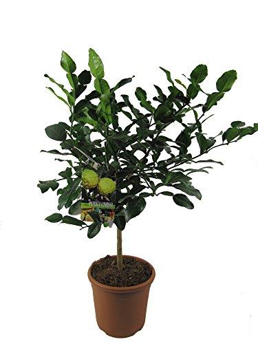 Kaffir-Limette - Kaffir Limette - Kaffir Limettenbaum ca. 70cm hoch