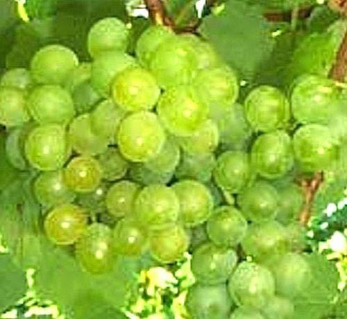 PLAT FIRM GERMINATIONSAMEN: 3 Stecklinge Seedless Sommer Muscat Grape Vine, Köstliche Trauben, Zonen 7-11