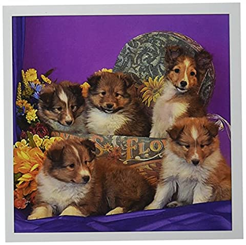 3dRose Greeting Cards, 6 x 6 Inches, Pack of 12, Five Shetland Sheepdog Puppies (gc_207515_2)