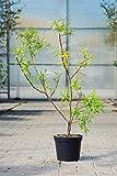 Japanische Drachenweide Sekka 60-100 cm Busch für Sonne-Halbschatten Zierstrauch grünes Laub Gartenpflanze winterhart 1 Pflanze im Topf
