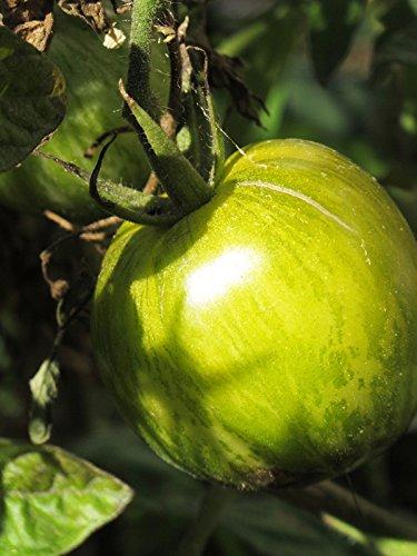 Gestreifte grün-gelbe Tomate 'Grünes Zebra' (Solanum lycopersicum) 20 Samen