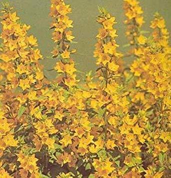 vegherb Lysimachia Punctata Staudensamen