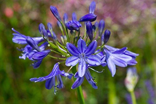 agapanthus-lapis-lazuli-1-plant-in-a-3-l-pot