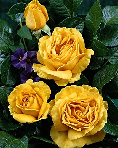 'Golden Lady' -R-, Duft-Edelrose im 4 L Container
