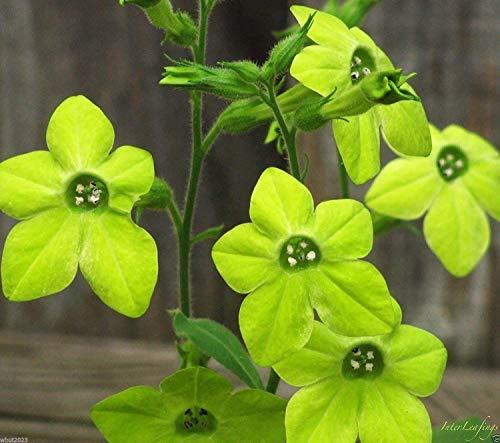 Fash Lady NICOTIANA Alata - LIME GREEN (200 Samen) Blühender Tabak - Zier