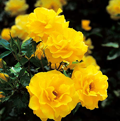 Rose Friesia® (im grossen Container) - kräftige Pflanze im 6lt.-Container
