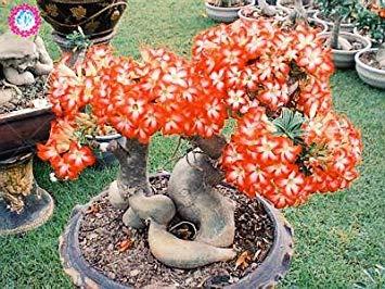 VISTARIC 6: 100 Pcs/Sac Rare Eucalyptus Arc-en-Floraison Graines, Graines Arbre Tropical, Eucalyptus Plantes pour Jardin d'ornement Bonsai 6