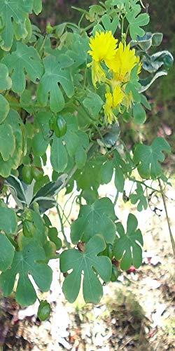 Les Graines Bocquet - Graines De Capucine Grimpante Jaune Des Canaries - Graines Potagères À Semer - Sachet De 2Grammes
