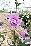 Hibiskus purpurfarbene Blüte Hibiskus Eibisch Ardens Containerware 40-60 cm hoch,