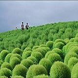 Portal Cool 100 Semillas: Kochia Scoparia Semillas Tonificadores de hojas mixtas Plantas aeróbicas Balcón Bonsai en maceta