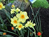 Daffodil Bulbs .: Narcissus