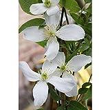 Dominik Blumen und Pflanzen, Kletterpflanzen, Duft-Clematis Wilsonii, 2 L, weiß, 60x14x14 cm, 315431