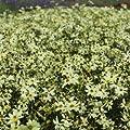 Mädchenauge 'Moonbeam' - Coreopsis verticillata 'Moonbeam' - Beetstaude von Native Plants - Du und dein Garten