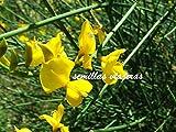 Portal Cool Retama De Olor, Spartium junceum 60 Semillas Seeds, ginestra Graines Samen