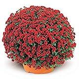Vista 100 Teile/beutel bodendecker Chrysantheme Samen Chrysantheme Mehrjährige Bonsai Blumensamen Daisy Topfpflanze Für Hausgarten 2