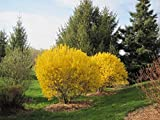 Goldglöckchen 80-100 cm Forsythia x intermedia 'Lynwood Gold' - Forsythie