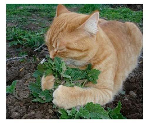 50 unids/set gato menta plantas aromáticas Catnip
