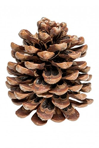 NaDeco Pinienzapfen 10 Stück 10-14cm   Pinus Pinea   Pinien Zapfen   Tannenzapfen   Kiefernzapfen   Dekozapfen   Zapfendeko