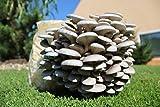Bio Fertig-Pilzzuchtkultur für Austernpilze