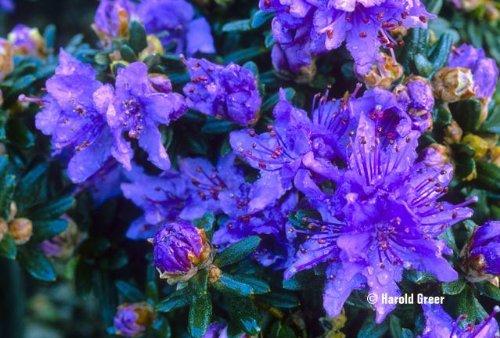 2-litre-pot-dwarf-rhododendron-impeditum-blue-purple-flowers-garden-shrub-plant
