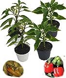 4er Set F1 Paprikapflanzen im 10er Topf (2x Blockpaprika F1;2x ungarischer Spritzpaprika)