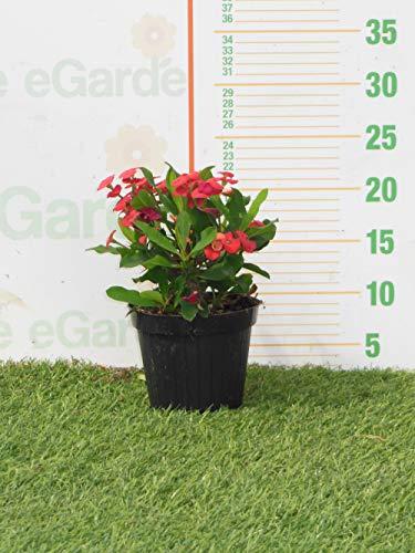 pianta euphorbia milii (spina di cristo) rossa v.14
