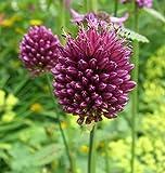 Zierlauch purpurviolett - Allium sphaerocephalon