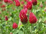 Premier Seeds Direct ORG121 25g Green Manure Trefolium Crimson Clover Organic