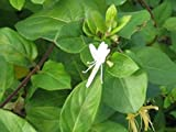 Japanisches Geißblatt - Lonicera japonica - Halliana - Kletter-/Schlingpflanze, immergrün, 40-60 cm