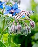 1660mg bourrache bio ~ 80 ~ Graines Fleurs comestibles à base de plantes de compagnie huile végétale