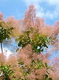TROPICA - Scotano (Cotinus coggyria) - 50 Semi- Magic tropical