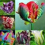Soteer Garten- Tulpenzwiebeln Samen Tulpenmischung Blumenpflanze Bonsai Saatgut verschönert winterhart mehrjährig duftend (50 Korn)