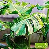Monstera deliciosa (Philodendron pertusum) [Vaso Ø21cm]