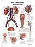3B Scientific Lehrtafel - Das Harnsystem - Anatomie und Physiologie