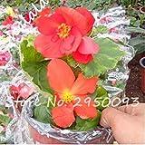 PLAT FIRM KEIM SEEDS PLATFIRM-Unique Begonia Blumensamen Schöner Garten Bonsai Perennial Blume Malus Spectabilis Seeds 50 PCS Indoor Topfpflanzensamen 10